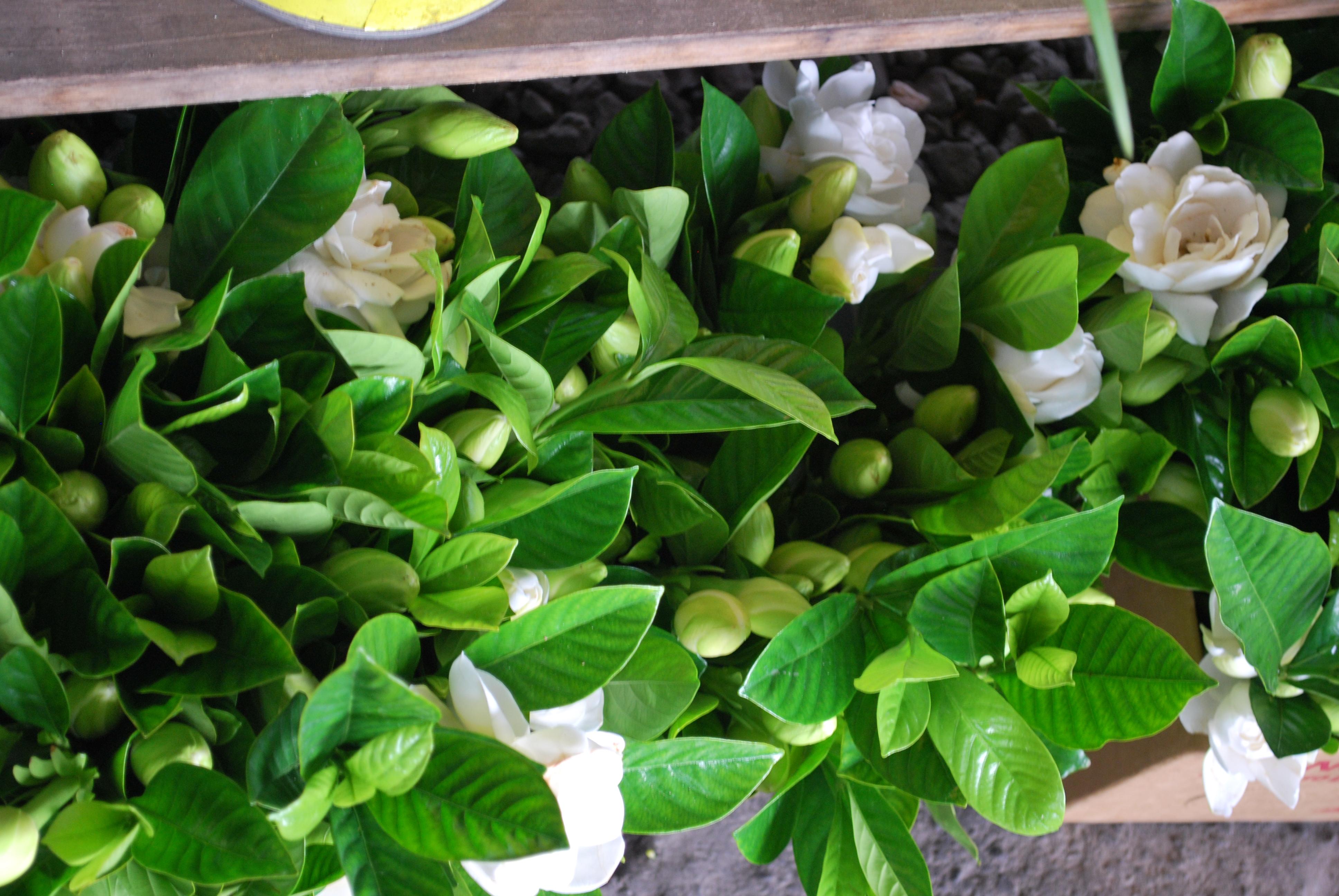 Gardenia marketing